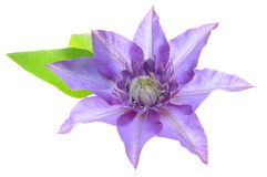 Purple clematis flower with leaves Stock Photo