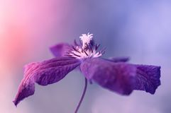 Purple Clematis flower on a soft pinkish blue background. Romantic image with soft focus. Selective focus. Purple Clematis flower on a soft pinkish blue Royalty Free Stock Photography