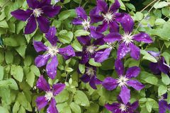 Clematis flowers with rain drops. Purple Clematis flowers against the background of green leaves, raindrops on lepistikas Stock Photos