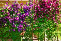 Free Purple Clematis Flowers Blooming On Shrub In Sunlight. Royalty Free Stock Images - 138940109