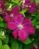 Purple clematis flowers blooming in summer garden stock photo