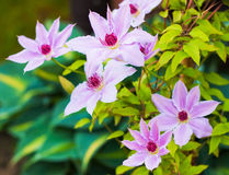 Purple clematis flowers blossom - close up. Violet blooming flowers on clematis plant Royalty Free Stock Images
