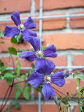 Purple clematis flowers Royalty Free Stock Image