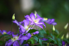 Purple clematis flowers in the garden. Shallow depth of field Royalty Free Stock Photos