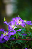 Purple clematis flowers in the garden. Shallow depth of field Royalty Free Stock Images