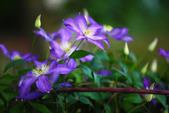 Purple clematis flowers in the garden. Shallow depth of field Royalty Free Stock Photo