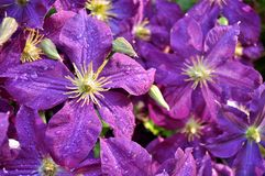 Purple Clematis Flowers Just After Spring Rain. Stock Photo