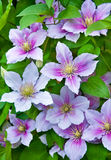 Purple clematis flowers on a natural Stock Photography