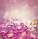 Purple clematis flowers. For background stock image