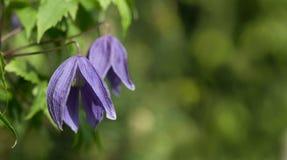 Clematis alpine - purple flowers Royalty Free Stock Image