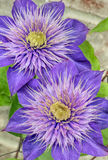Purple Clematis Flowers Royalty Free Stock Images