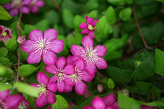 Purple clematis flowers Royalty Free Stock Photos