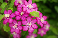 Purple clematis flowers Stock Photography