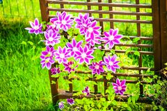 Purple clematis flowers. With a wooden garden element in the background Stock Photo
