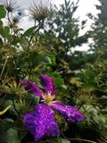 Purple clematis General Sikorski covered in morning dew Royalty Free Stock Images