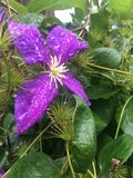 Purple clematis General Sikorski covered in morning dew Stock Photos