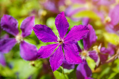 Purple clematis with green leaves in the garden. Stock Photos