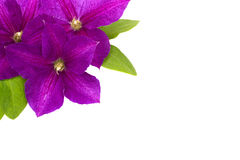 Purple clematis with green leaves isolated on white background Royalty Free Stock Photos