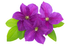 Purple clematis with green leaves isolated on white Royalty Free Stock Photo