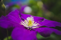 Purple clematis with his fluffy heart Royalty Free Stock Photography
