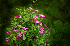 Purple clematis on hoops. Green background Royalty Free Stock Photo