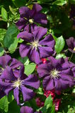 Purple Clematis. Inflorescence of a purple Clematis plant Royalty Free Stock Image