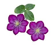 Purple clematis isolated on white background. Purple clematis on a stem isolated on white background stock images