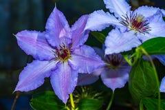Purple Clematis Jackmanii. Close up of purple Clematis Jackmanii flower landscape Royalty Free Stock Photos
