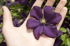 Purple Clematis Jackmanii flower. Holding a purple Clematis Jackmanii flower Stock Photo
