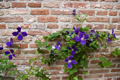 Purple clematis. Liana with flowers Royalty Free Stock Photography
