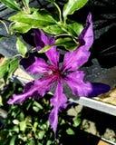 Purple clematis stock image