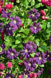 Purple Clematis with red roses. A purple Clematis plant is climbing together with red roses Stock Photos