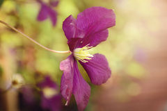Purple Clematis Stock Images