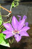 purple-clematis-variety Stock Photography