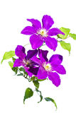 Purple clematis young branch Stock Photos