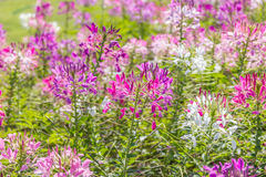 Purple cleome flower. Colorful of cleome flower in sunny day Stock Image