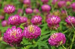 Purple clover Stock Photo