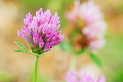 Purple Clover Stock Photos