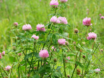 Purple clover Stock Images