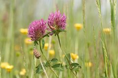 Purple clover Stock Photo