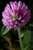 Purple Clover. Macro photo of Purple Clover - Trifolium pratense royalty free stock images
