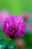 Purple clover abstract Royalty Free Stock Photos