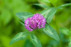 Purple clover royalty free stock images