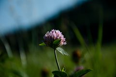 Purple clover flower  on a field. On a sunny day without clouds royalty free stock photo