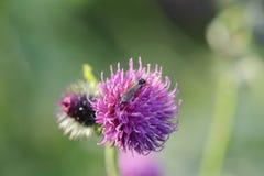 Purple clover flower Royalty Free Stock Photo