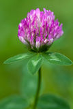 Purple clover flowerhead. On a green background, shallow focus Royalty Free Stock Photo
