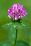 Purple clover flowerhead Royalty Free Stock Photo