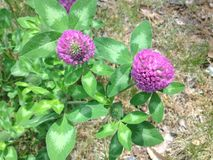 Purple Clover Flowers. Royalty Free Stock Images