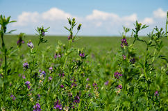 Purple clover Royalty Free Stock Photography