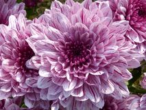 Purple Cluster Petal Flower Royalty Free Stock Photo